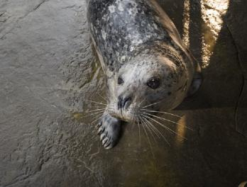 Grey harbor seal named Barney