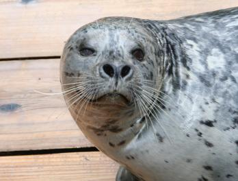 How much does a harbor seal weigh?