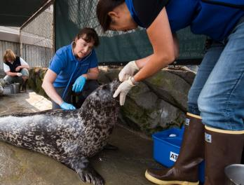 On rounds at the harbor seal exhibit with the Aquarium's vet
