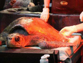 "Rescued olive ridley sea turtle, ""Coral,"" receiving care at the Aquarium"