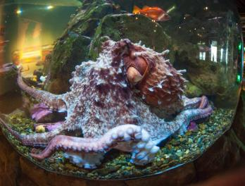 Get ready for Octopus Week at the Seattle Aquarium!