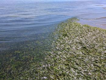 Eelgrass: nursery of the sea