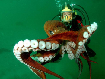 Fun Animal Facts: Giant Pacific Octopus