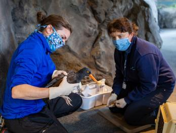 Sara Perry (left) assists Senior Veterinarian Dr. Caitlin Hadfield (right) with a health check on a black oystercatcher.