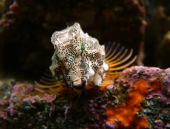 Winter Fishtival: Sculpin Fun Facts