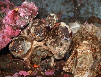 Healthy barnacles, healthy grunt sculpins
