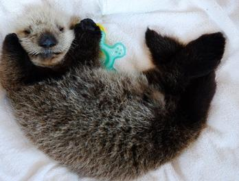 Seattle Aquarium assists with Hardy, the rescued sea otter