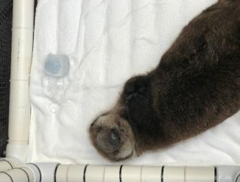 Part 3: Seattle Aquarium assists with Hardy, the rescued sea otter