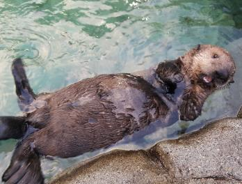 Part 4: Seattle Aquarium assists with Hardy, the rescued sea otter