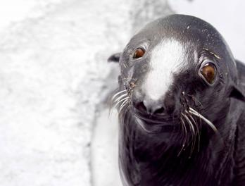 Leu, fur seal