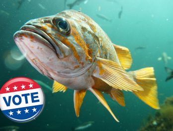 Rockfish with 'I voted' sticker