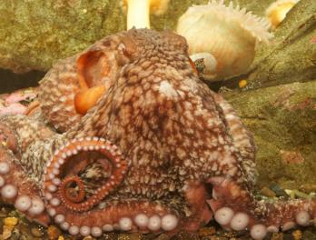 Octopus census update