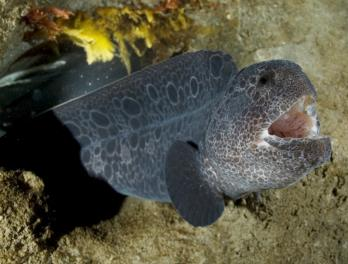 Winter Fishtival: Wolf Eel Fun Facts