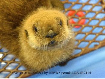 Part 2: Seattle Aquarium staff assist with sea otter rehabilitation in Alaska