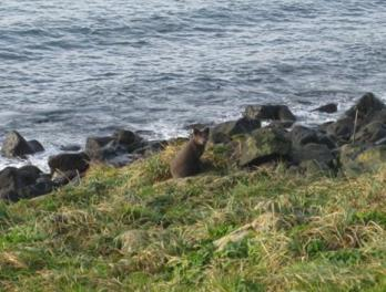 Northern Fur Seals and The Pribilofs