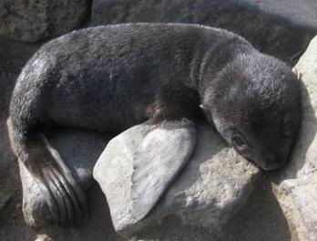 Northern Fur Seals and The Pribilofs, Part 1
