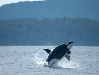 Orca breaching in Puget Sound