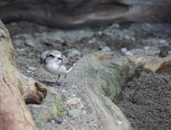 Snowy plover standing on a piece of driftwood in its exhibit at the Seattle Aquarium