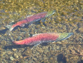 A closer look at the wonder of salmon migration