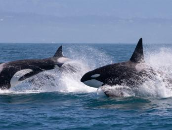 Pod of four orca whales swimming quickly, breaching the ocean's surface.