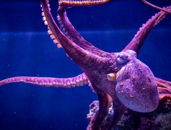 Pacific octopus with outstretched arms.